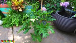 Easy Philodendron Bipinnatifidum // Philodendron Selloum // Tropical Plant Party