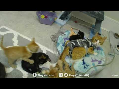 Kittens v. Mama's Tail - TinyKittens.com
