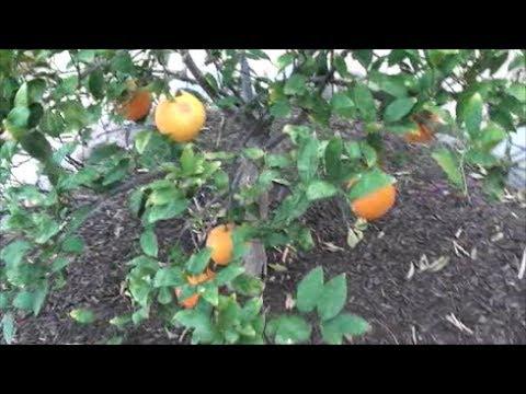 Navel Citrus Tree UPDATE   growing food in the Arizona desert