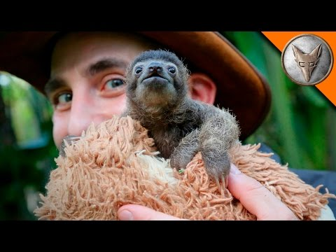 Cutest Baby Sloth EVER!