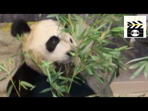 Pandas eating bamboo compilation: what do panda bears usually eat?