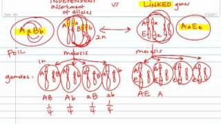 Gamete Formation:  Independent Assortment vs. Linked Genes