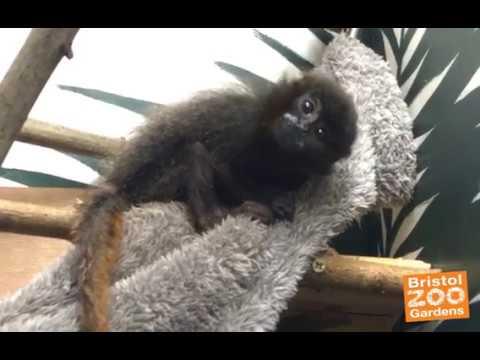 Pichiku the baby Titi monkey is curious!