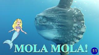 MERMAID MINUTE #18: MOLA MOLA With Merma.
