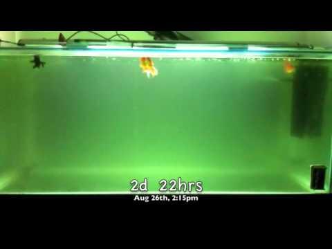 Aquarium UV Sterilizer/Filter in Action!
