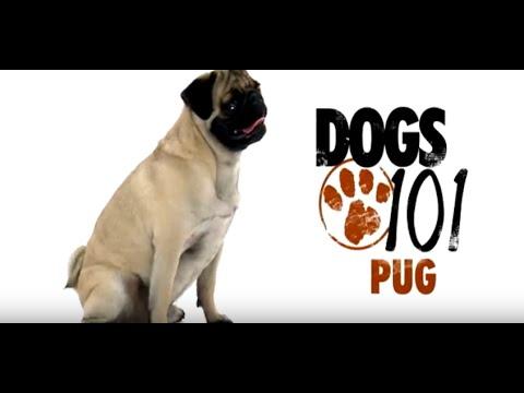 Pug Dogs 101 | Pug Problems