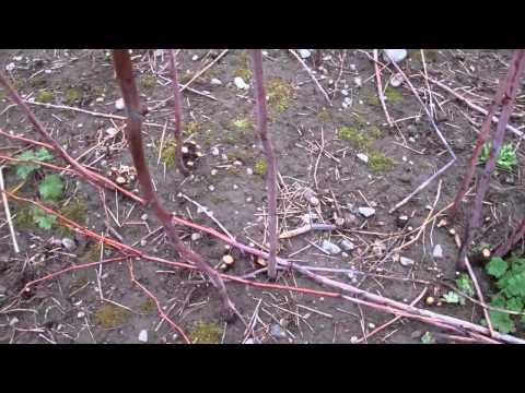 Thinning Raspberries Part One