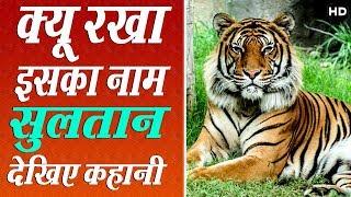भारत के इस शेर का नाम है सुलतान पार ऐसा क्यूँ देखिये जरूर