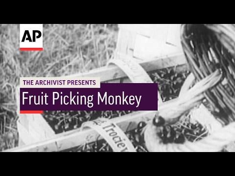 Fruit Picking Monkey - 1951 | The Archivist Presents | #85