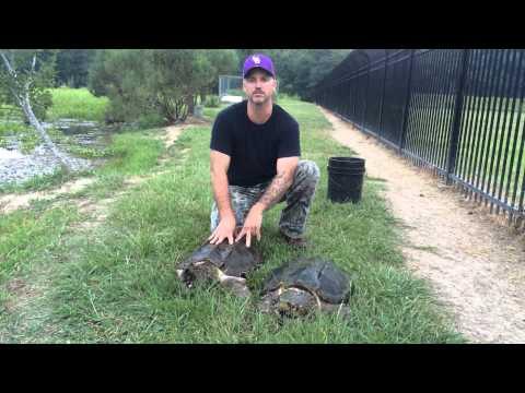 Louisiana Alligator Snapping Turtle Project - Turtle Release
