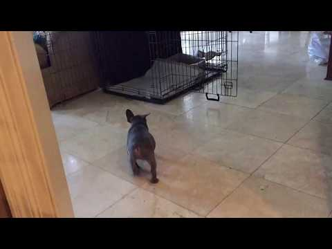French Bulldog Potty Training with the Puppy Apartment - Fast and Easy