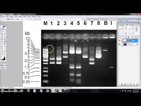 DNA ladder standard curve
