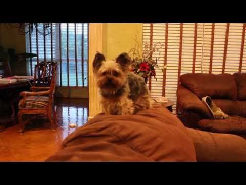 Puppy left at home alone (Yorkie)