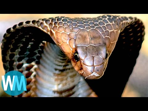 Xxx Mp4 Top 10 TERRIFYING Snakes That Will Probably KILL You 3gp Sex