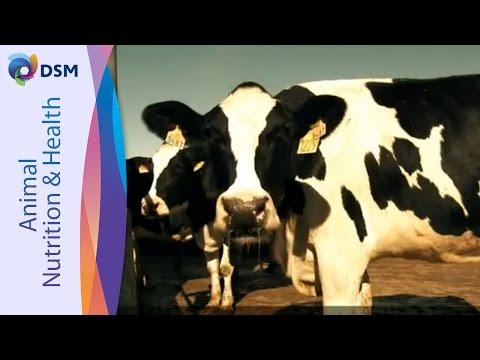 DSM ROVIMIX® Beta-Carotene - Migliorare La Fertilità Della Vacca Da Latte (Sottotitolo Italiano)