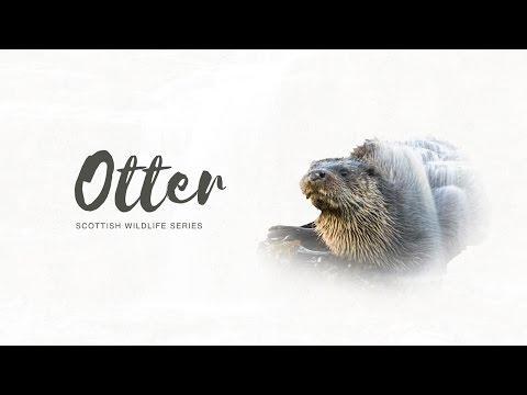 Scottish Wildlife Series: Otter