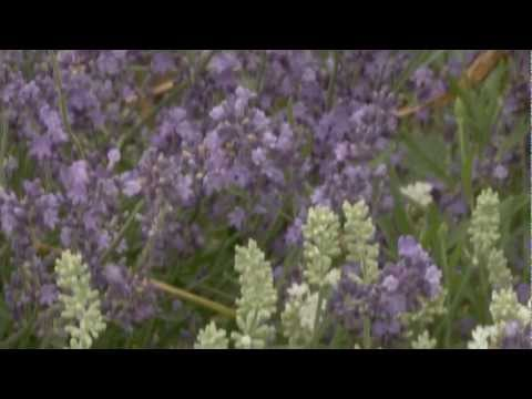 Gardening Tips - How to Grow Lavender Plants