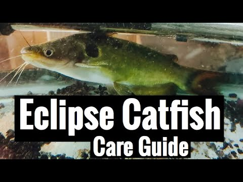 "Eclipse Catfish Care Guide ""Sun Catfish"""