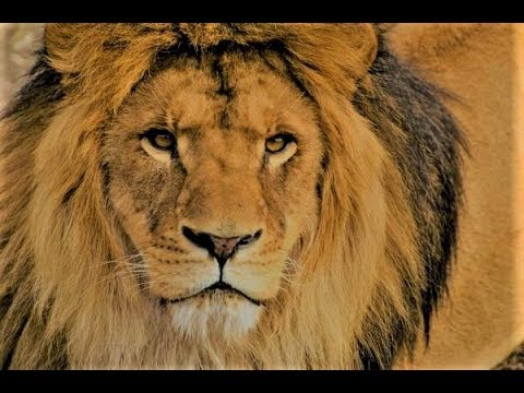 Lion as a Totem: Personality Characteristics and Life-Path Challenges