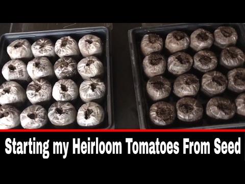 Heirloom Vintage Tomato Seed Starts For 2017
