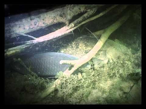 ловля карпа под водой