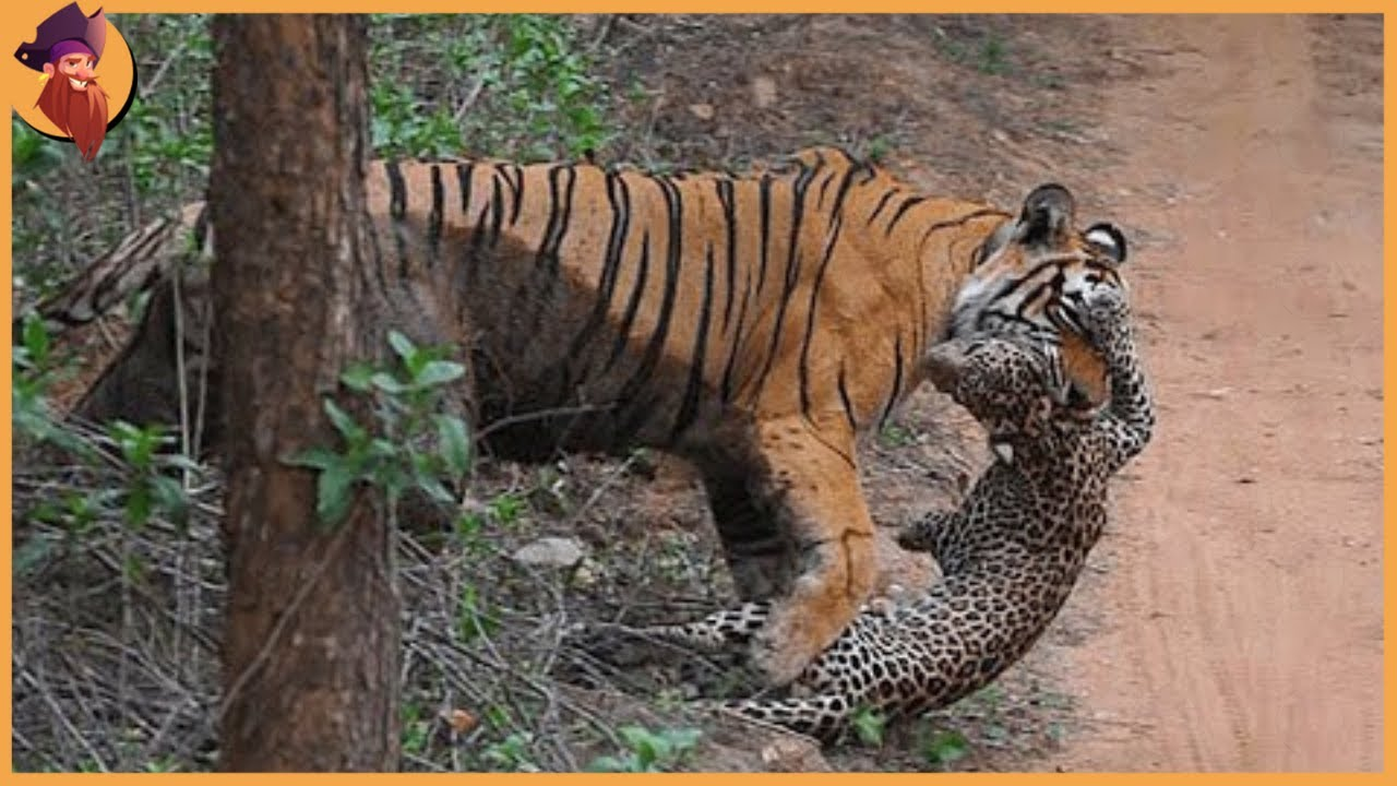 14 Incredible Tiger Battles Caught On Film