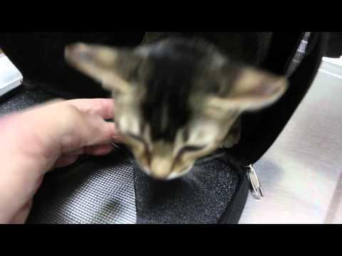 A kitten has an infected neck wound Pt 1