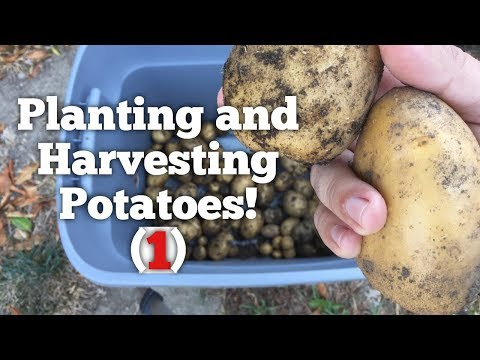 Growing Potatoes in a RootPouch!
