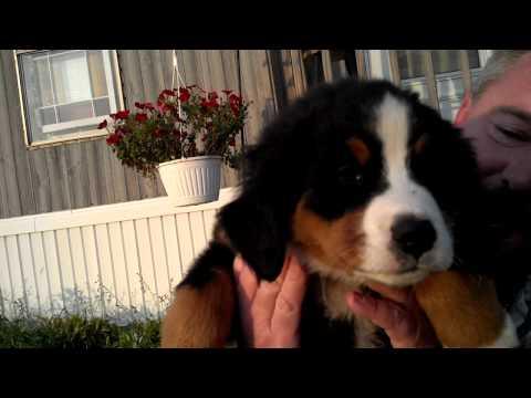 Burnese mountain dog puppies4sale