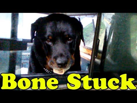 Rottweiler Dog's Bone Stuck in Truck - Captain