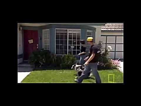 Dogs:  Cesar Millan swinging dogs around by their scruffs