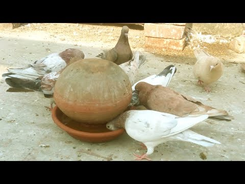 Make Money from Home - Starting a Business Homing Pigeons and Home Business Ideas Pigeon Farm