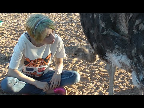 Interacting with my pet Ostriches, Emu, & Kangal dog