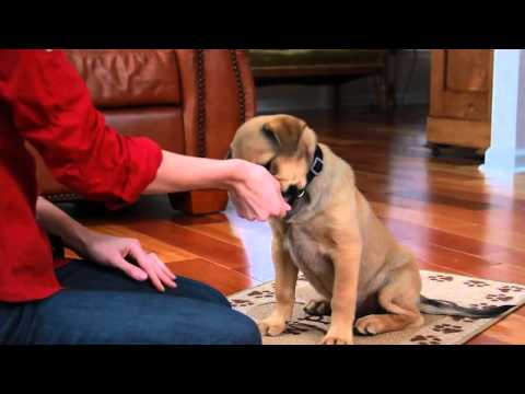 Teach a Puppy to Sit   Teacher u0027s Pet With Victoria Stilwell
