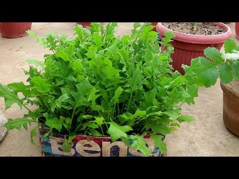 Growing spinach in cardboard - Urdu