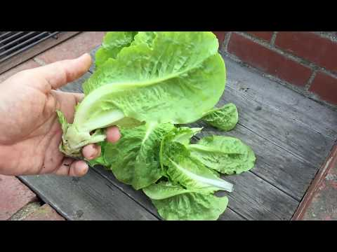 Growing Lettuce 5
