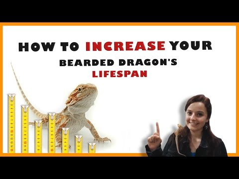 Bearded Dragon Lifespan - How To Increase Your Bearded Dragon's Lifespan