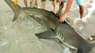 Monster Hammerhead Shark on the Beach