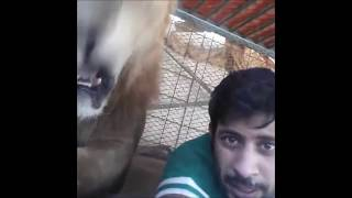 Dubai Prince playing with his pet lions. Friends vitaly get chased and ass bitten by his lions!!