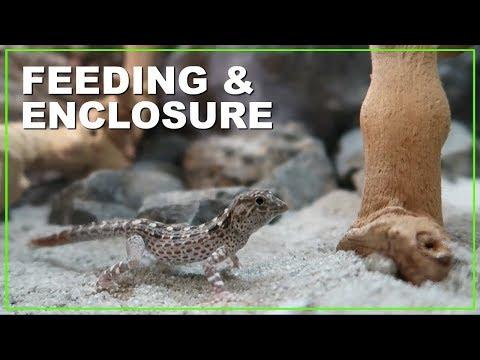 NEW RARE GECKO *Feeding & Enclosure*