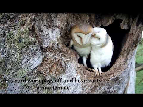 Bringing Up Baby: How barn owls do it