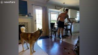 Hilarious husky exits house through dog door after making a mess