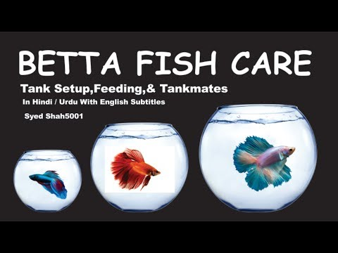 How to care Betta fish care and guide in Hindi Urdu with English subtitles