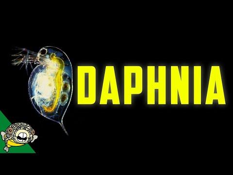 Daphnia Culturing - Live Fish Food Magna / Pulex Breeding Daphnia, Daphnia Magna Culture,