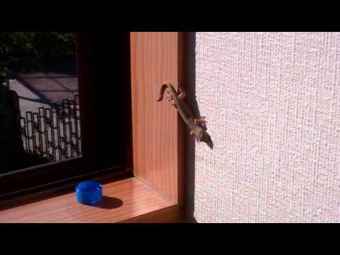 Gecko in our House-Capture 2