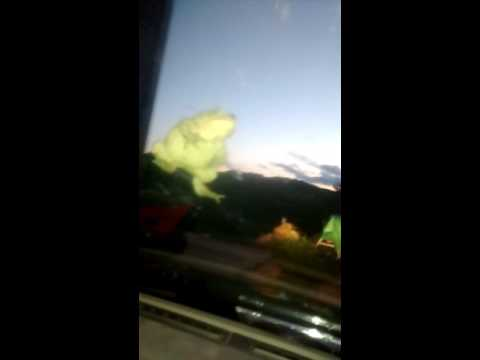 Encounter with a real barking tree frog