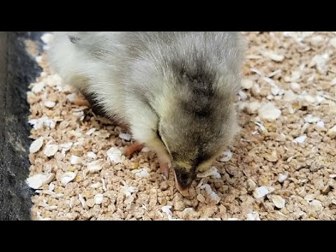 Baby Chicks First Oatmeal Breakfast