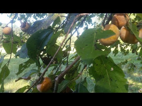 Wild Edible, Native American Persimmon Fruit Tree