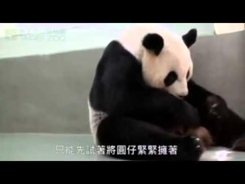 Amazing Panda2