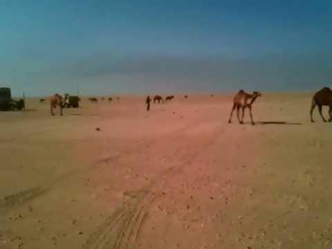 Kuwaiti Camels visit an Army Company